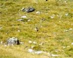 La marmota del Pirineo